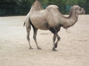 A camel, a source of food as well as transport in some countries, where veganism might be problematic